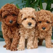 Sensational Cavapoo Puppies ready for their new home