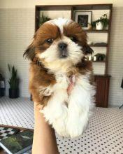 stunning Shih Tzu puppies ready for adoption