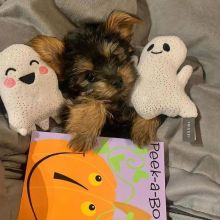 Well trained Teacup Yorkie puppies for new homes