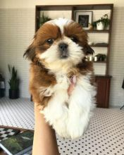 Joyful Shih Tzu puppies ready for rehoming