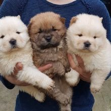 Lovely Chow Chow puppies for re-homing now.