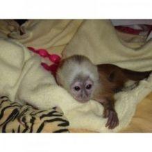 2 Marvelous Capuchin Monkeys