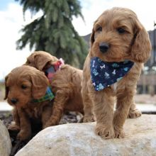 sweet caVApoo puppies for adoption email (chenwibobo@gmail.com)