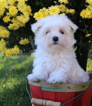 C.K.C MALE AND FEMALE MALTESE Puppies PUPPIES AVAILABLE