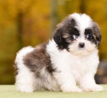 C.K.C MALE AND FEMALE 🎄 SHIH TZU PUPPIES AVAILABLE