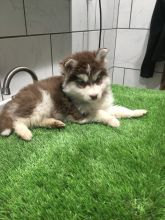 Alaskan Malamute Puppies - Updated On All Shots Available For Rehoming