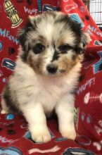 Australian Shepherd Puppies - Updated On All Shots Available For Rehoming