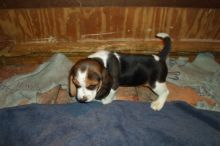 Beagle Puppies - Updated On All Shots Available For Rehoming