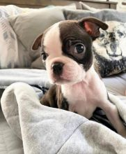 Boston Terrier Puppies - Updated On All Shots Available For Rehoming