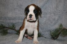 Boxer Puppies - Updated On All Shots Available For Rehoming