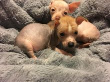 Chinese Crested Dog Puppies - Updated On All Shots Available For Rehoming
