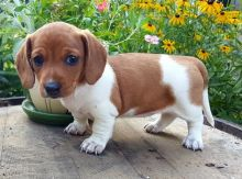 C.K.C MALE AND FEMALE DACHSHUND PUPPIES AVAILABLE
