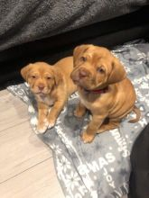 Dogue De Bordeaux Puppies - Updated On All Shots Available For Rehoming