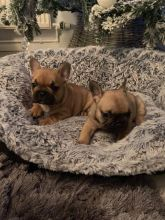 French Bulldog Puppies - Updated On All Shots Available For Rehoming