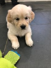 Golden Retriever Puppies - Updated On All Shots Available For Rehoming