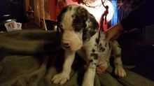 Great Dane Puppies - Updated On All Shots Available For Rehoming