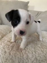 Jack Russell Terrier Puppies - Updated On All Shots Available For Rehoming