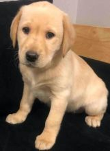 Labrador Retriever Puppies - Updated On All Shots Available For Rehoming