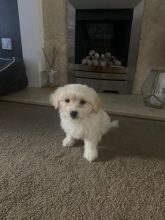 Maltese Puppies - Updated On All Shots Available For Rehoming