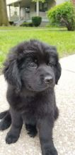 Newfoundland Puppies - Updated On All Shots Available For Rehoming