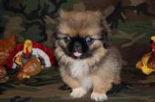 Pekingese Puppies - Updated On All Shots Available For Rehoming