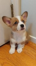 Pembroke Welsh Corgi Puppies - Updated On All Shots Available For Rehoming