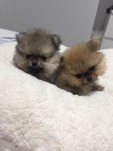 Pomeranian Puppies - Updated On All Shots Available For Rehoming