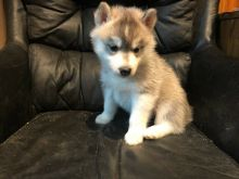 Pomsky Puppies - Updated On All Shots Available For Rehoming