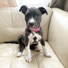 C.K.C MALE AND FEMALE AMERICAN PITBULL TERRIER PUPPIES AVAILABLE️