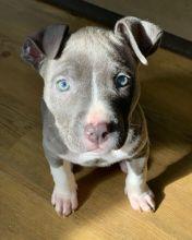 Pit Bull For Free Adoption