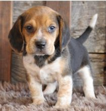 Adorable lovely Male and Female Beagle Puppies for adoption