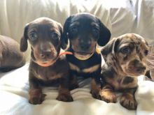 Cute lovely Male and Female Dachshund Puppies for adoption