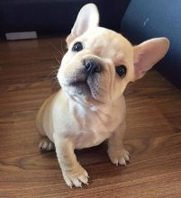 Joyful lovely Male and Female French Bulldog Puppies for adoption