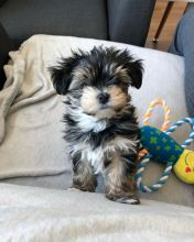 Joyful lovely Male and Female Morkie Puppies for adoption