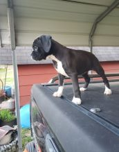 Wonderful lovely Male and Female Boxer Puppies for adoption