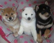 Significant Shiba Inu Puppies