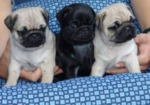 Black and fawn Pug Puppies available