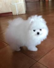 Excellence lovely Male and Female Pomeranian Puppies for adoption