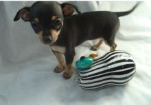 Perfect lovely Male and Female Chihuahua Puppies for adoption