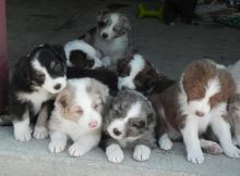 Charming Australian Shepherd puppies available Image eClassifieds4U