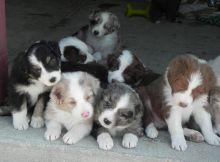 Charming Australian Shepherd puppies available Image eClassifieds4U