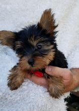 Marvelous Yorkie Puppies For Adoption