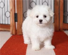 Excellence lovely Male and Female Maltese Puppies for adoption