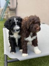 Portuguese Water Dog Puppies - Updated On All Shots Available For Rehoming