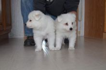 Samoyed Puppies - Updated On All Shots Available For Rehoming