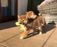 Shiba Inu Puppies - Updated On All Shots Available For Rehoming