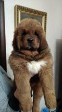 Tibetan Mastiff Puppies - Updated On All Shots Available For Rehoming