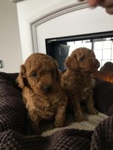 Toy Poodle Puppies - Updated On All Shots Available For Rehoming