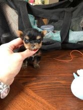 Yorkshire Terrier Puppies - Updated On All Shots Available For Rehoming