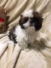 Shih Tzu Puppies - Updated On All Shots Available For Rehoming Image eClassifieds4U